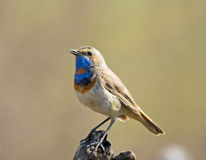 Bluethroat Stock Image