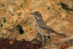 Bluethroat Fotografie Stock