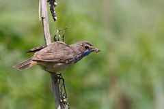 Bluethroat Royaltyfri Bild