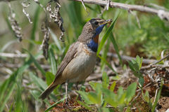 Bluethroat Royaltyfria Foton
