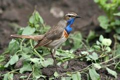Bluethroat. Bird (bluethroat) sitting on the ground Royalty Free Stock Image