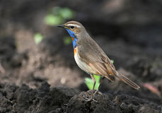 Bluethroat. The bird (bluethroat) stands on the ground Royalty Free Stock Photography