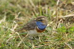 Bluethroat. A bird with many colors Stock Photo