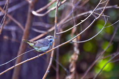 Bluethroat bird on a branch Royalty Free Stock Photo