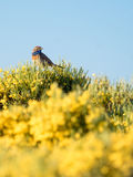 Bluethroat bird Luscinia svecica in colorful spring Royalty Free Stock Photography