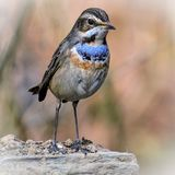 The Bluethroat Bird. The bluethroat is a small passerine bird that was formerly classed as a member of the thrush family Turdidae, but is now more generally Royalty Free Stock Photo