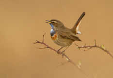 Bluethroat on a branch. Singing Stock Photos