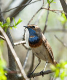 Bluethroat on branch. In spring Stock Photos