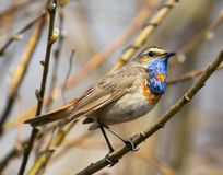 Bluethroat on branch. Bluethroat sitting on spring branch Royalty Free Stock Images