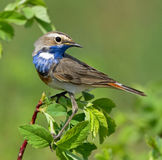 Bluethroat on the branch. Of bush Stock Image
