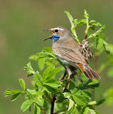 Bluethroat on the branch. Of bush Stock Photo