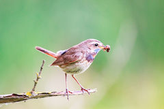 Bluethroat on branch with worm in its beak Royalty Free Stock Photos