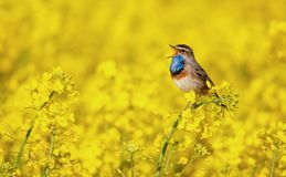 Bluethroat chirping in a rape field Royalty Free Stock Photo