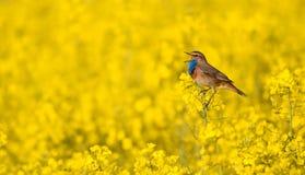 Bluethroat chirping in a rape field. Bluethroat singing in a flowering rape field Stock Photos