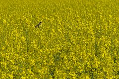 Bluethroat chirping in a rape field. On spring day with sun Royalty Free Stock Photography