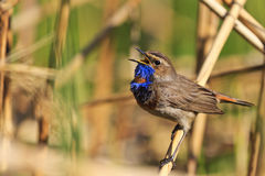 Bluethroat colored bird sings the song. Forest birds and wildlife Stock Photos