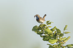 Bluethroat display Royalty Free Stock Image