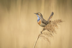 Bluethroat display. A blue-throat bird (Luscinia svecica cyanecula) display to attract a female Stock Image
