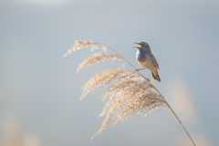 Bluethroat display Royalty Free Stock Images