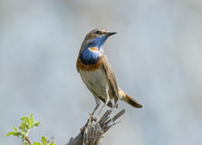 Bluethroat on dry branch. Bluethroat sitting on dry branch in spring Stock Photos