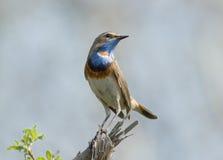 Bluethroat on dry branch Stock Photos