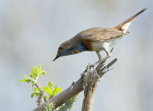 Bluethroat on dry branch Stock Photo