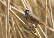 Bluethroat on dry reed. In spring Royalty Free Stock Photography