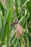 Bluethroat- eller Lusciniasvecica Arkivbilder