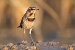 Bluethroat in evening Royalty Free Stock Photo