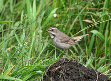 Bluethroat (female). The bird (Luscinia svecica, bluethroat) stands on the ground Stock Images