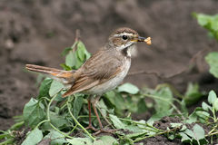 Bluethroat (female) Royalty Free Stock Photo