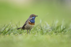 Bluethroat foraging in grass. A blue-throat bird (Luscinia svecica cyanecula) foraging in grass in search for insects during breeding season in Springtime Stock Photo