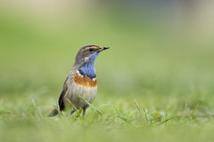 Bluethroat foraging in grass. A blue-throat bird (Luscinia svecica cyanecula) foraging in grass in search for insects during breeding season in Springtime Royalty Free Stock Photos