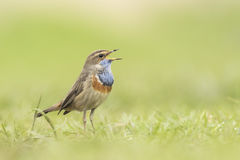 Bluethroat foraging in grass Stock Photos