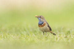 Bluethroat foraging in grass Stock Photography