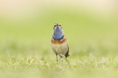 Bluethroat foraging in grass Royalty Free Stock Photography