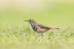 Bluethroat foraging in grass Stock Image
