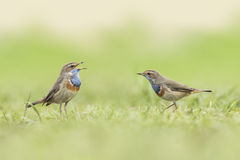 Bluethroat foraging in grass Royalty Free Stock Photo