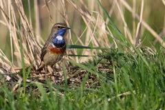 Bluethroat in the grass Stock Photos