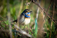 Bluethroat (Luscinia svecica). Royalty Free Stock Image