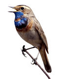 Bluethroat (Luscinia svecica). Royalty Free Stock Images