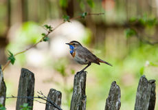 Bluethroat (Luscinia svecica). Royalty Free Stock Photo