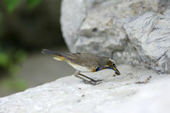 Bluethroat (Luscinia svecica) Royalty Free Stock Photo