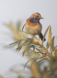 Bluethroat - Luscinia svecica. Mottled Bluethroat on the branch of sea buckthorn Stock Images