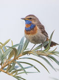 Bluethroat - Luscinia svecica. Mottled Bluethroat on the branch of sea buckthorn Stock Photography