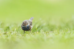 Bluethroat Luscinia svecica cyanecula foraging in grass Royalty Free Stock Photos