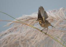 Bluethroat Luscinia svecica. On perch at sunrise royalty free stock image