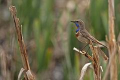 Bluethroat. Luscinia svecica perched on reeds Stock Photography