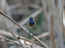 Bluethroat. Luscinia svecica perched on reeds Stock Image