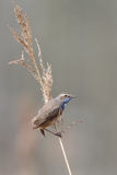 The bluethroat (Luscinia svecica) Royalty Free Stock Photography